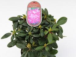Rododendron (Y) 'Blurettia' – Rhododendron (Y) 'Blurettia' - 2