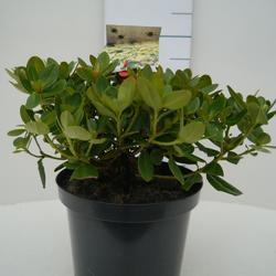 Rododendron 'Shamrock' – Rhododendron 'Shamrock'     - 2