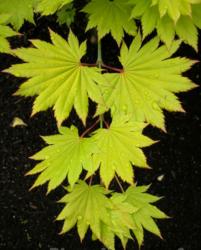 Javor shirasavanský 'Aureum' - Acer shirasawanum 'Aureum'                 - 2