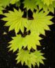 Javor shirasavanský 'Aureum' - Acer shirasawanum 'Aureum'                 - 2/2