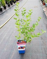 Angrešt červený 'Captivator' - Ribes uva-crispa 'Captivator' keřový - 2