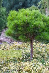 Borovice černá 'Bambino' - Pinus nigra 'Bambino'        - 2