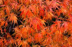 Javor dlanitolistý 'Dissectum' - Acer palmatum                     - 2