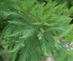 Tisovec dvouřadý - Taxodium distichum            - 2