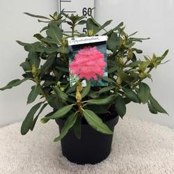 Rododendron (T) 'Nova Zembla' – Rhododendron (T) 'Nova Zembla' - 2