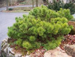 Borovice černá 'Hornibrookiana' - Pinus nigra 'Hornibrookiana'     - 2