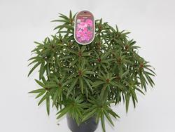 Rododendron (T) 'Graziella' - Rhododendron (T) 'Graziella' - 2