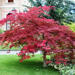 Javor dlanitolistý 'Atropurpureum' - Acer palmatum                    - 2