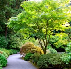 Javor dlanitolistý - Acer palmatum                    - 2