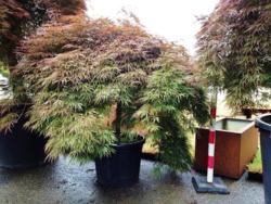 Javor dlanitolistý 'Dissectum Atropurpureum'- Acer palmat                 - 2