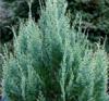 Cypřišek Lawsonův 'White Spot' - Chamaecyparis lawsoniana 'White Spot'  - 2/3