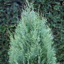 Cypřišek Lawsonův 'White Spot' - Chamaecyparis lawsoniana 'White Spot'  - 2
