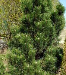 Borovice černá 'Green Rocket' - Pinus nigra 'Green Rocket'               - 2