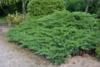 Jalovec chvojka 'Tamariscifolia' - Juniperus sabina 'Tamariscifolia'            - 2/2