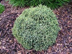 Smrk sivý 'Blue Planet' - Picea glauca 'Blue Planet'                    - 2