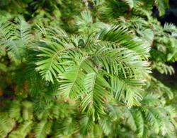 Metasekvoje čínská - Metasequoia glyptostroboides            - 2