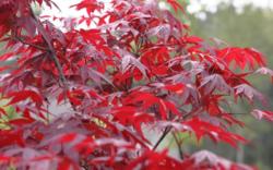 Javor dlanitolistý 'Fireglow' - Acer palmatum                     - 2