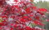 Javor dlanitolistý 'Fireglow' - Acer palmatum                     - 2/2