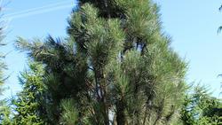 Borovice černá 'Fastigiata' - Pinus nigra 'Fastigiata'              - 2