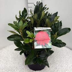 Rododendron 'Markeeta's Prize' – Rhododendron 'Markeeta's Prize'     - 2