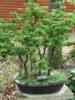 Javor dlanitolistý 'Crispifolium' - Acer palmatum                    - 2/2