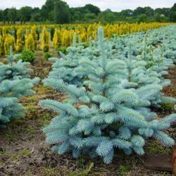 Smrk pichlavý 'Blue Diamond' - Picea pungens 'Blue Diamond'             - 2