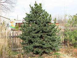 Borovice osinatá - Pinus aristata     - 2