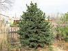 Borovice osinatá - Pinus aristata     - 2/2
