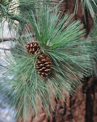 Borovice těžká - Pinus ponderosa                     - 2