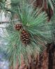 Borovice těžká - Pinus ponderosa                     - 2/3