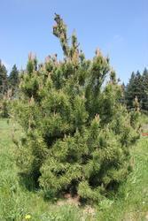 Borovice pokroucená - Pinus contorta        - 2