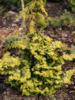 Cypřišek tupolistý 'Rashahiba' - Chamaecyparis obtusa 'Rashahiba'             - 2/2