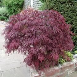 Javor dlanitolistý 'Garnet'-Acer palmatum 'Garnet'                     - 2