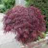 Javor dlanitolistý 'Garnet'-Acer palmatum 'Garnet'                     - 2/2