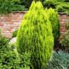 Zeravec východní 'Aurea Nana' - Platycladus (Thuja) orientalis 'Aurea Nana'        - 2/3
