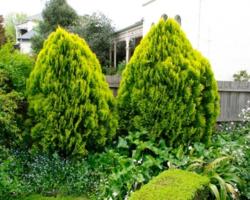 Zeravec východní 'Aurea Nana' - Platycladus (Thuja) orientalis 'Aurea Nana'        - 2