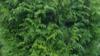 Zerav obrovský 'Gelderland' - Thuja plicata 'Gelderland' - 2/4
