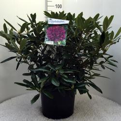 Rododendron (T) 'Marcel Menard' – Rhododendron (T) 'Marcel Menard' - 2