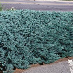 Jalovec polehlý 'Blue Chip' - Juniperus horizontalis 'Blue Chip'            - 2