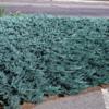 Jalovec polehlý 'Blue Chip' - Juniperus horizontalis 'Blue Chip'            - 2/2