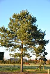 Borovice lesní - Pinus sylvestris                        - 2