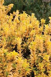 Euonymus japonicus 'Microphyllus Gold' - Brslen japonský 'Microphyllus Gold' - 2