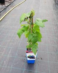 Maliník obecný 'Black Jewel' - Rubus idaeus 'Black Jewel' - 2