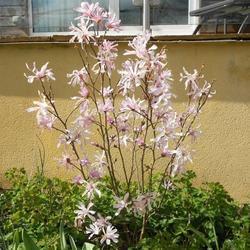 Šácholan hvězdokvětý 'Rosea' - Magnolia stellata 'Rosea'     - 2