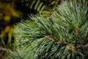 Borovice ohebná 'Vanderwolf´s Pyramid' -Pinus flexilis 'Vanderwolf´s Pyramid' - 2/3