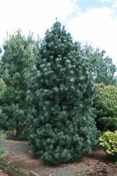 Borovice ohebná 'Vanderwolf´s Pyramid' -Pinus flexilis 'Vanderwolf´s Pyramid' - 2
