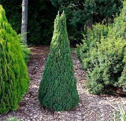 Smrk sivý 'Zuckerhut' - Picea glauca 'Zuckerhut'                   - 2