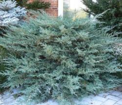 Jalovec viržinský 'Grey Owl' - Juniperus virginiana 'Grey Owl'            - 2