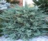 Jalovec viržinský 'Grey Owl' - Juniperus virginiana 'Grey Owl'            - 2/2