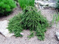 Smrk ztepilý 'Formánek' - Picea abies 'Formánek'                      - 2